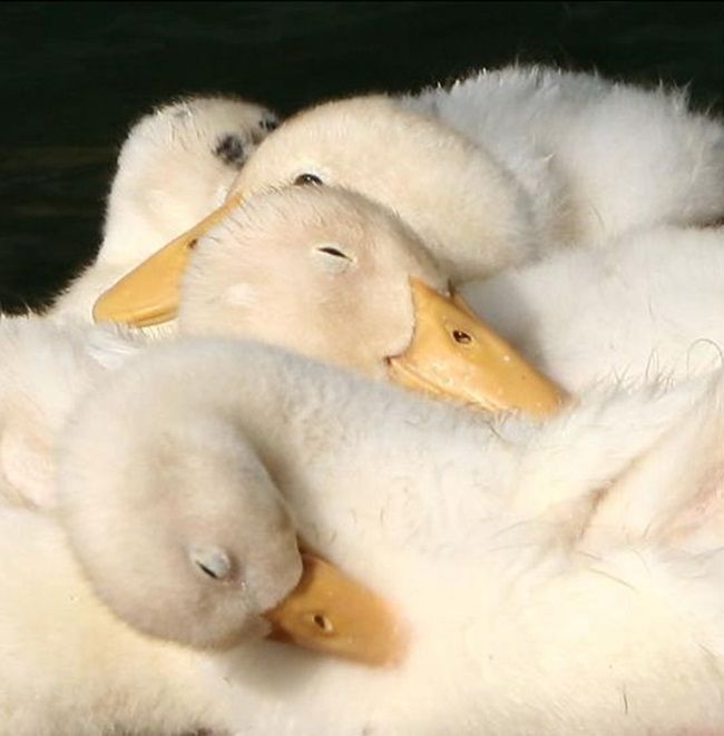 pictures-of-swan- (8)