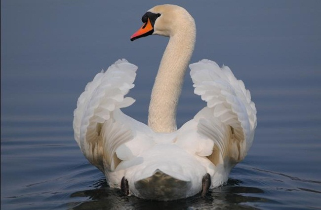 pictures-of-swan- (9)