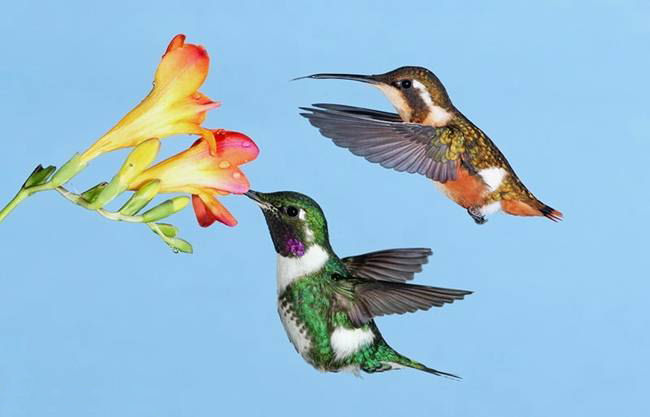 colorful-hummingbirds- (13)