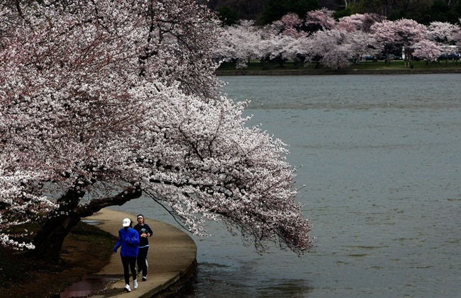 photos-of-cherry-blossom-festival-in-washington- (5)