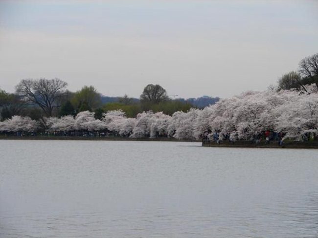 photos-of-cherry-blossom-festival-in-washington- (7)