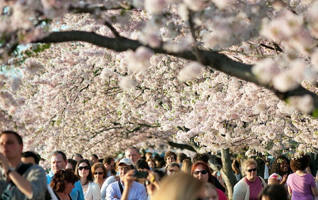 photos-of-cherry-blossom-festival-in-washington- (18)