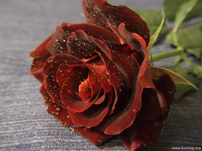 romantic-red-roses-pictures- (12)