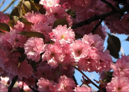 blooming-trees- (7)