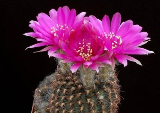 cactus-flowers- (10)