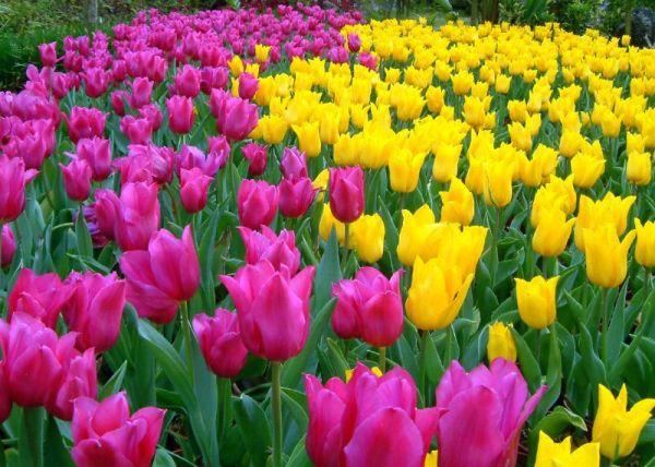 tulip-flower-wallpaper- (1)
