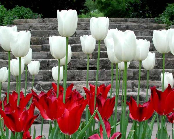 tulip-flower-wallpaper- (13)