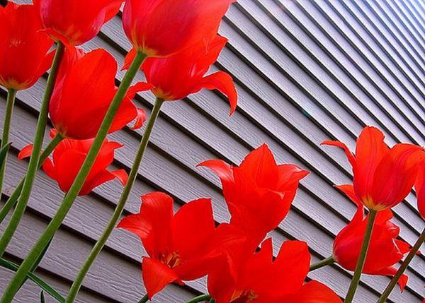 tulip-flower-wallpaper- (2)
