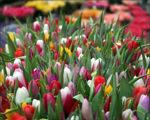 tulip-flower-wallpaper- (5)