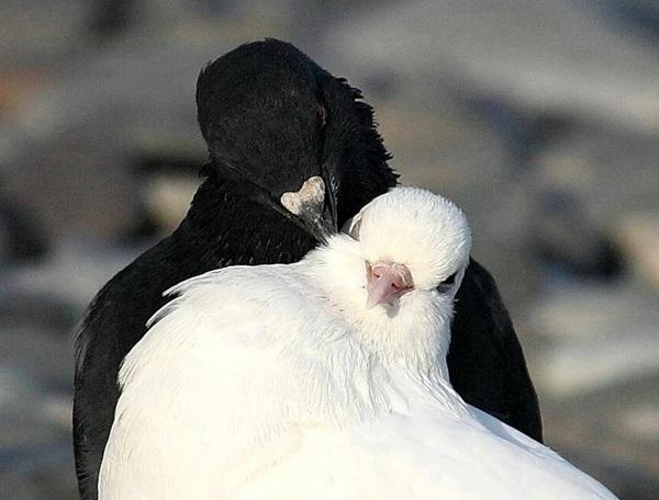 love-birds-kissing- (1)