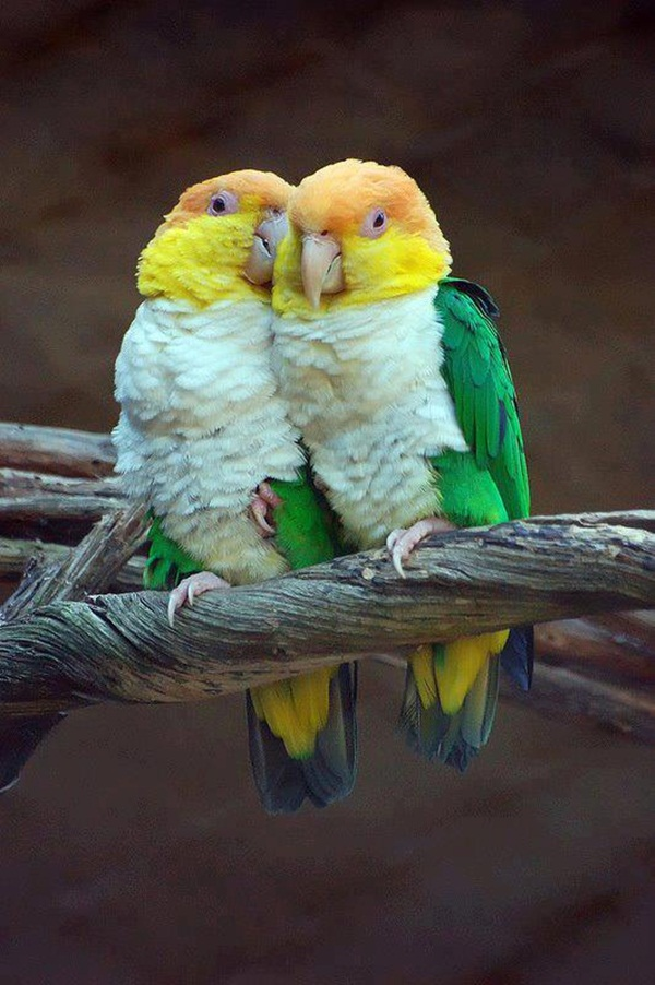 love-birds-kissing- (2)