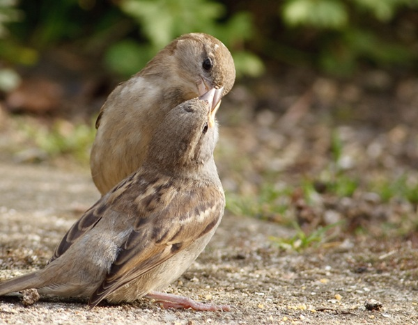 love-birds-kissing- (15)