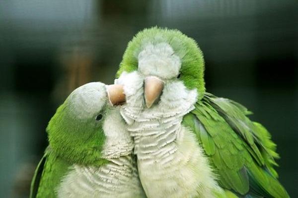 love-birds-kissing- (28)