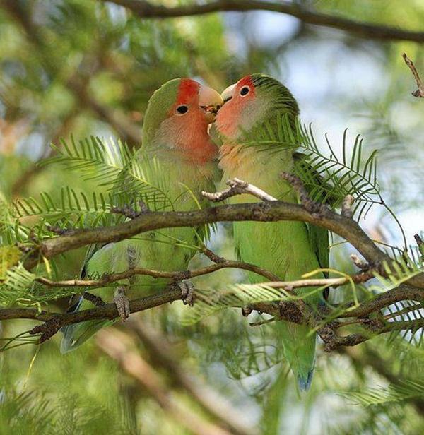 love-birds-kissing- (29)