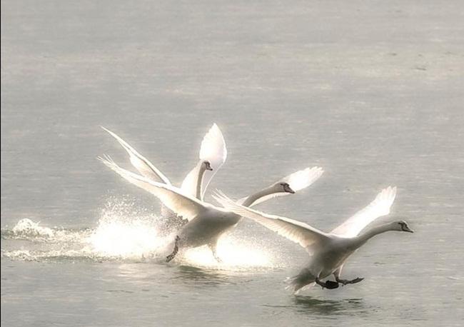 beautiful-swan-photos- (5)