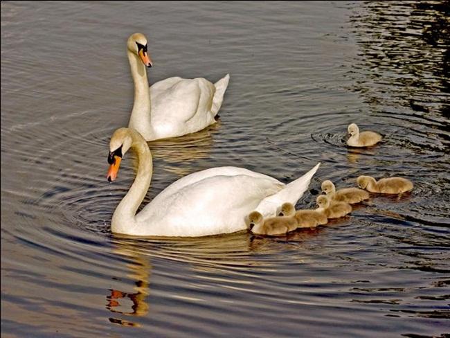 beautiful-swan-photos- (7)