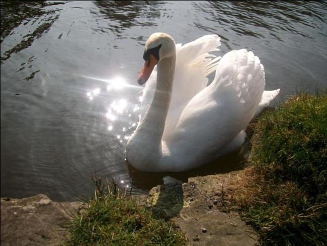 beautiful-swan-photos- (9)
