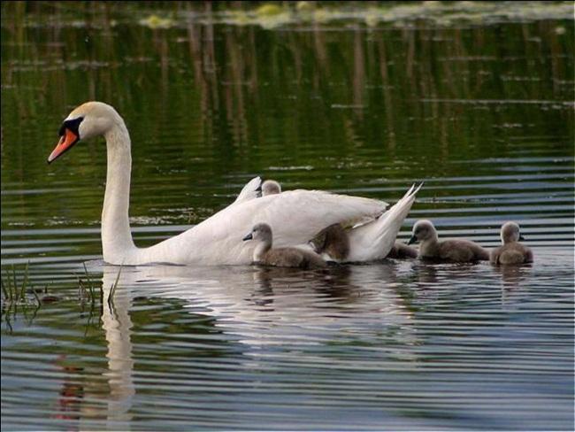 beautiful-swan-photos- (11)