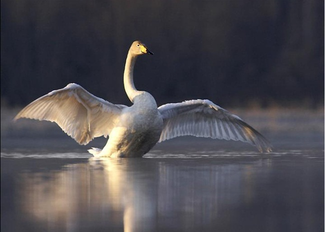 beautiful-swan-photos- (13)