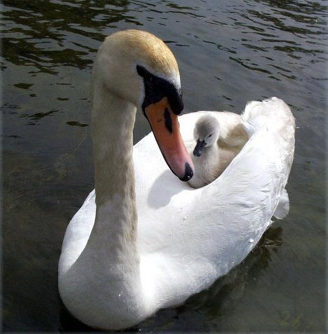 beautiful-swan-photos- (19)