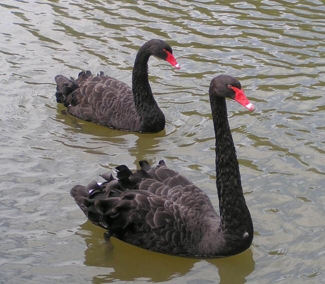 beautiful-swan-photos- (21)