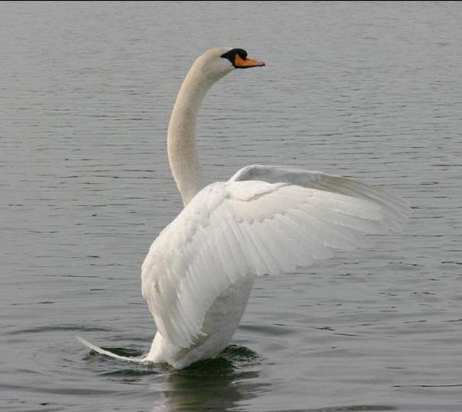 beautiful-swan-photos- (23)