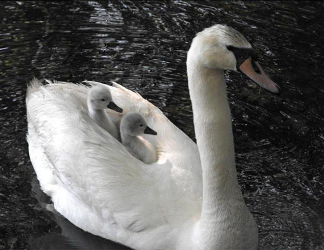 beautiful-swan-photos- (25)