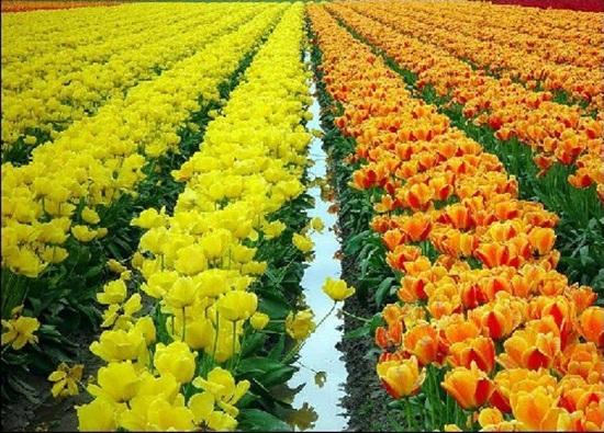 netherlands-tulips- (1)