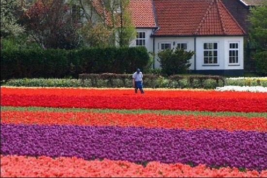 netherlands-tulips- (20)