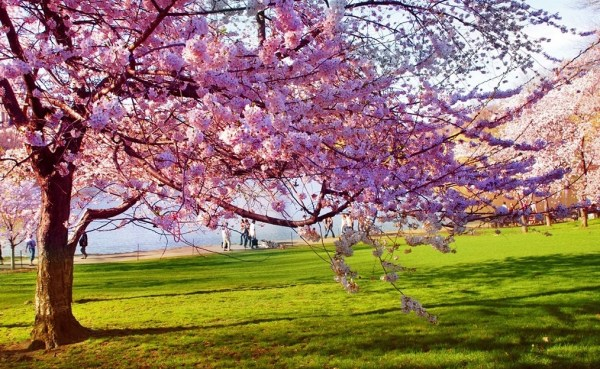 cherry-blossom-wallpaper-16-photos- (1)