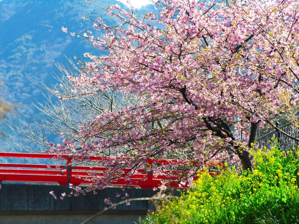 cherry-blossom-wallpaper-16-photos- (13)