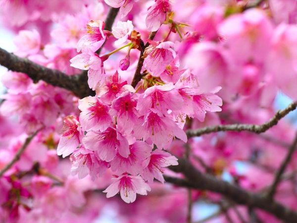 cherry-blossom-wallpaper-16-photos- (6)