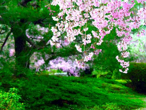 cherry-blossom-wallpaper-16-photos- (7)