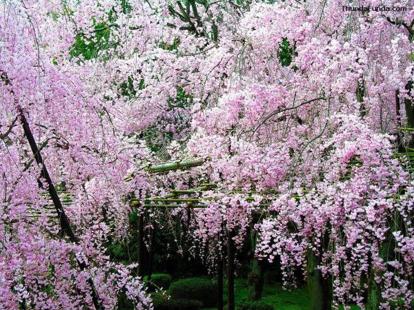 cherry-blossom-wallpaper-16-photos- (9)