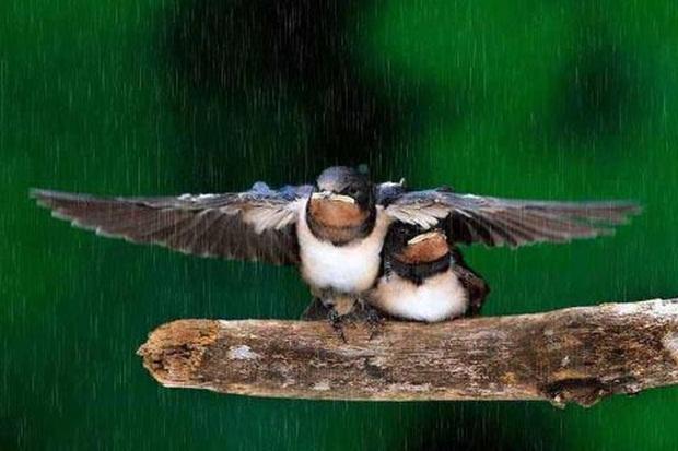 birds-in-rain- (10)
