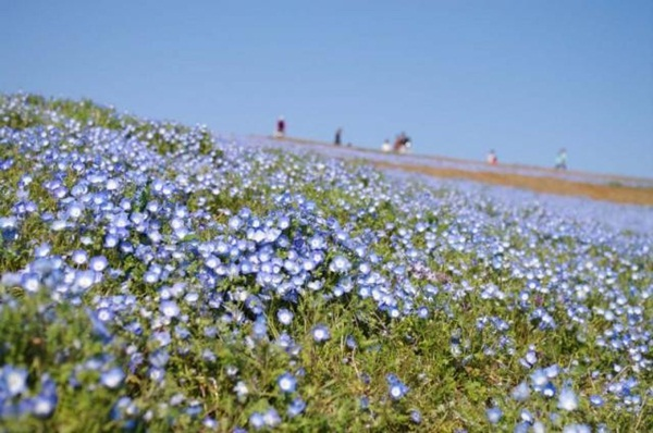 hitachi-seaside-park-japan-24-photos- (11)