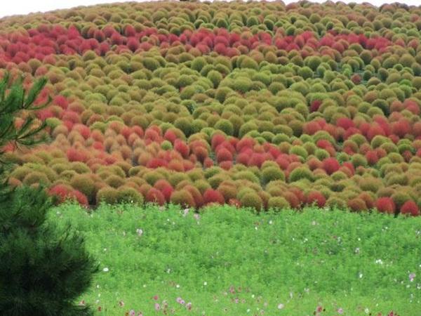 hitachi-seaside-park-japan-24-photos- (13)