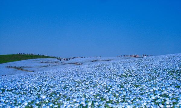 hitachi-seaside-park-japan-24-photos- (16)