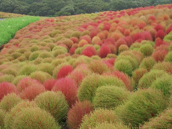 hitachi-seaside-park-japan-24-photos- (5)