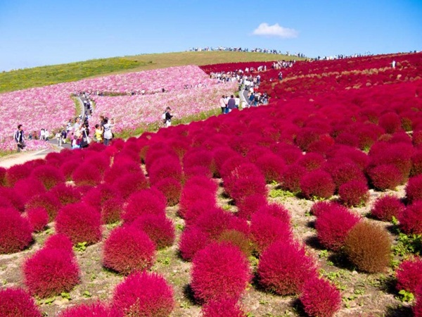 hitachi-seaside-park-japan-24-photos- (6)