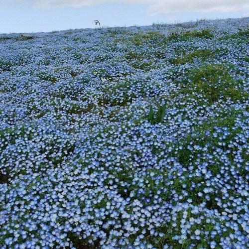 hitachi-seaside-park-japan-24-photos- (9)