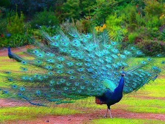 peacock-photos- (13)