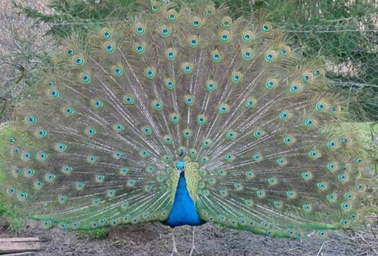 peacock-photos- (23)