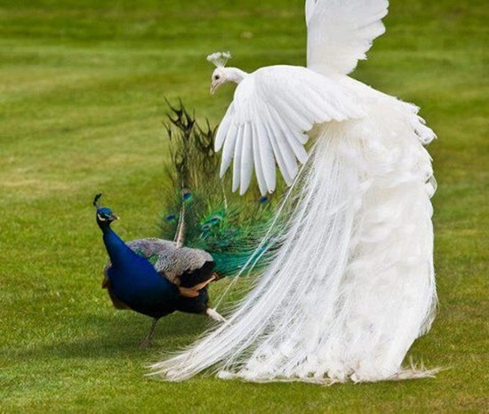 peacock-photos- (4)