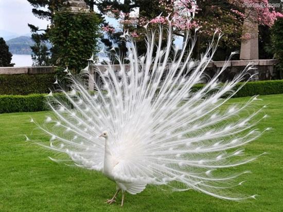 white-peacock- (1)