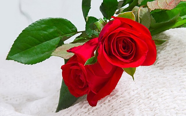 best-roses-26-photos- (1)