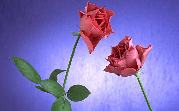 best-roses-26-photos- (24)