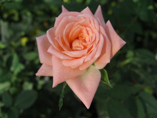 best-roses-26-photos- (4)