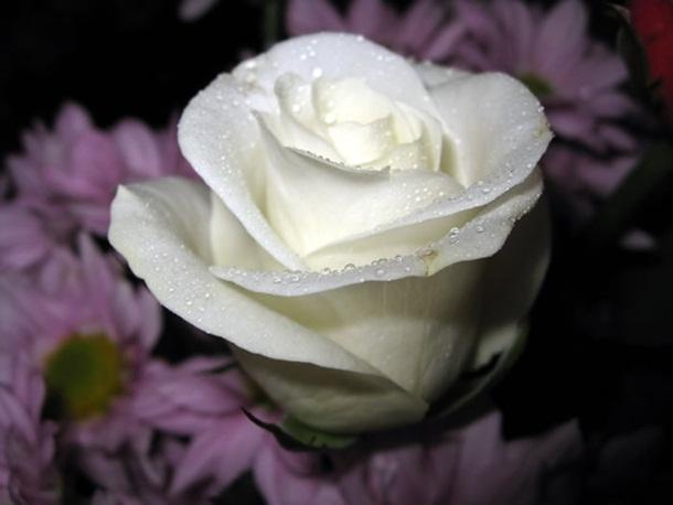 best-roses-26-photos- (7)