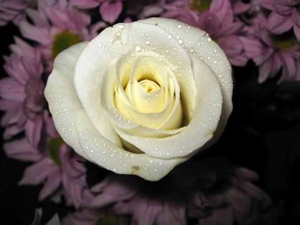 best-roses-26-photos- (8)